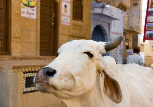 Cow, Old Delhi