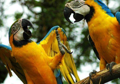 parrots in Amazon