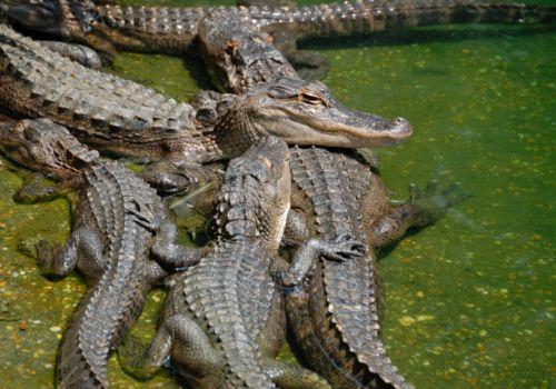 Alligators at Everglades National Park