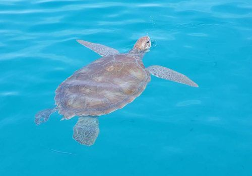 Turtle at Cobblers Cove Barbados
