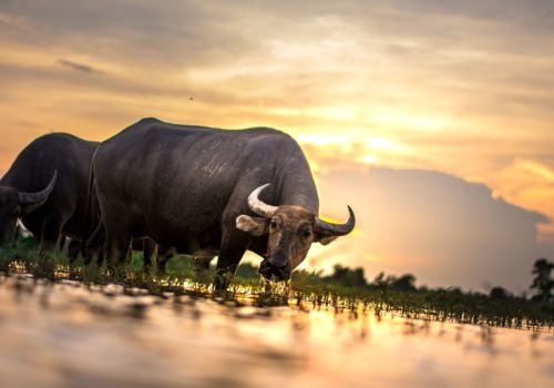 Buffalo in Thailand
