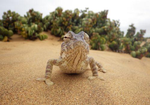 chameleon-2762796_1920