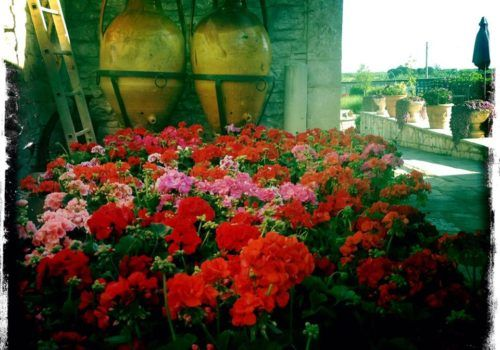 geraniums in Italy