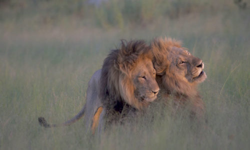 lions1-500x300.jpg