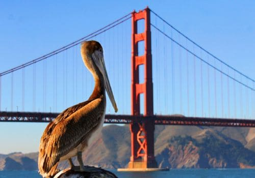 Pelican at Golden Gate Bridge