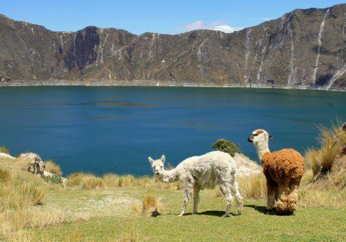Llamas at Quilotoa El Pedregal Ecuador