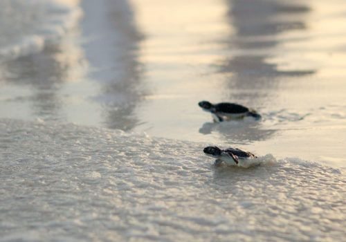 Riviera Maya turtles