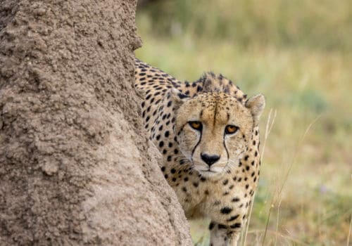 Cheetah at Sabi Sabi Game Reserve South Africa