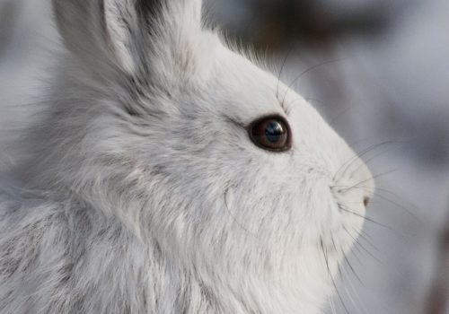 snowshoe-hare-1771969_1280