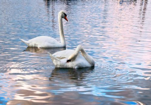 Swans on the Rhine