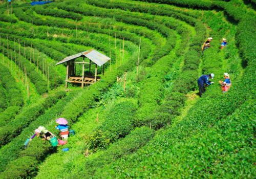 Thailand tea plantations