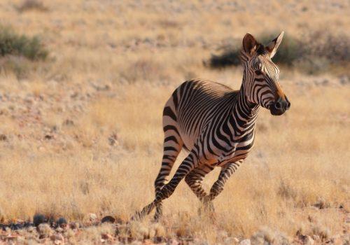 zebra-2452733_1920